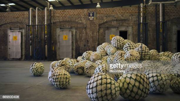 Weber Blue agave pine cones called pinas sit at the Patron Spirits Co distillery in Atotonilco El Alto Jalisco Mexico on Tuesday April 4 2017 The...