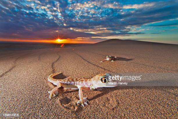 web-footed gecko (palmatogecko rangei) under sunset, namib desert, namibia, africa namib-naukluft national park, namibia, africa - namib naukluft national park stock pictures, royalty-free photos & images