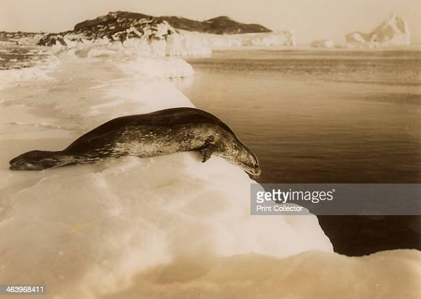 A weddell seal about to dive at West Beach Cape Evans Antarctica 1911