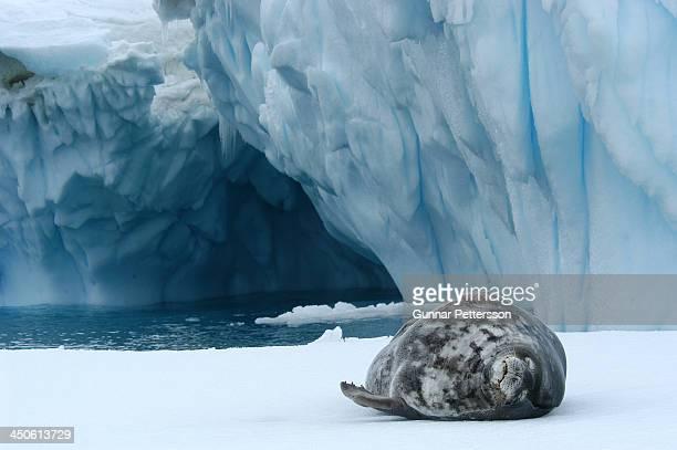 Weddell Seal, Antarctic Sound, Antarctica
