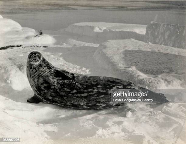 Weddell Seal at Cape Evans Antarctica 1910 British Antarctic Expedition 19101913