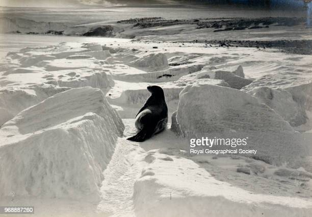 Weddell Seal Cape Evans Antarctica 1910 British Antarctic Expedition 19101913