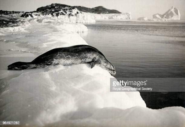 Weddell Seal diving off the ice Cape Evans Antarctica 15th March 1911 British Antarctic Expedition 19101913