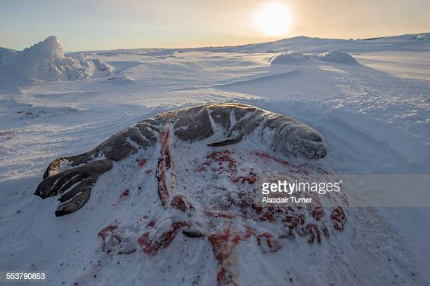 weddell seal fetus and placenta on the surface of the ross sea. - placenta stock photos and pictures