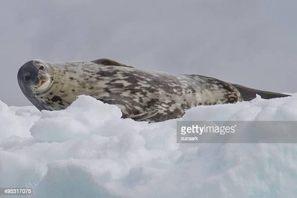 weddell seal in antarctic sound in antarctica - antarctic sound stockfoto's en -beelden