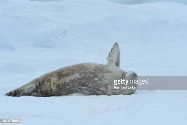 weddell seal, leptonychotes weddelli, lying on ice sleeping, snow hill island, weddel sea, antarctic peninsula, antarctica - snow hill island stock photos and pictures