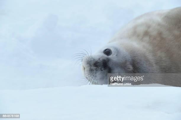 weddell seal, leptonychotes weddelli, lying on ice, snow hill island, weddel sea, antarctic peninsula, antarctica - snow hill island stock photos and pictures