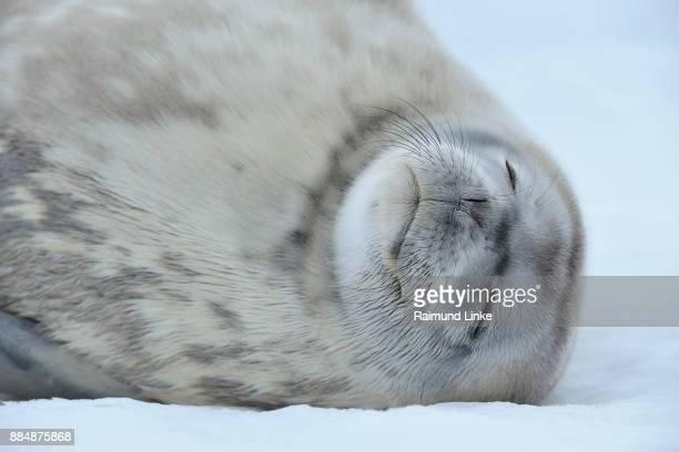 weddell seal, leptonychotes weddelli, portrait sleeping, snow hill island, weddel sea, antarctic peninsula, antarctica - snow hill island stock photos and pictures