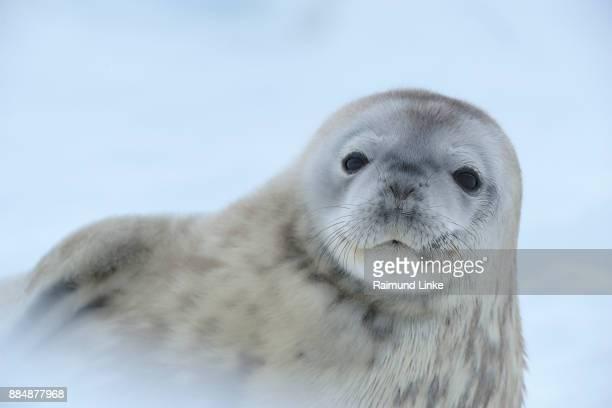 weddell seal, leptonychotes weddelli, portrait, snow hill island, weddel sea, antarctic peninsula, antarctica - weddell sea - fotografias e filmes do acervo