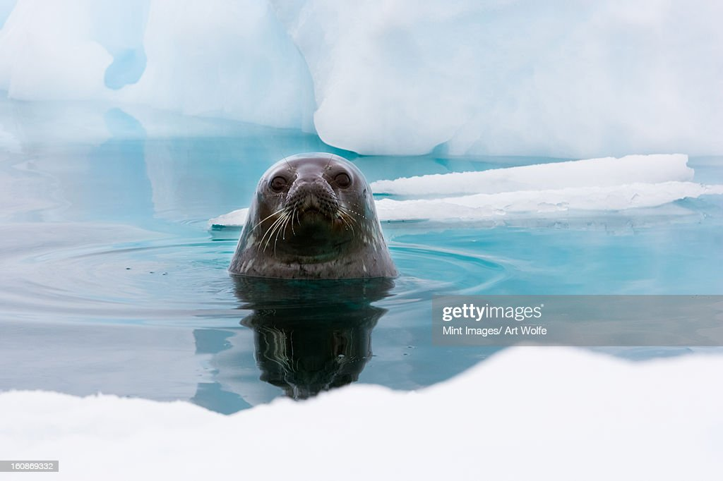 Weddell seal looking up out of the water, Antarctica : Stock Photo