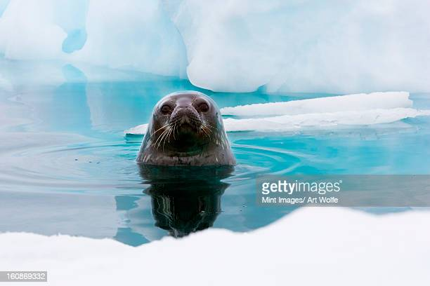 weddell seal looking up out of the water, antarctica - poolklimaat stockfoto's en -beelden