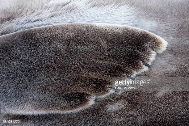 weddell seal on deception island, antarctica - animal hair stock pictures, royalty-free photos & images
