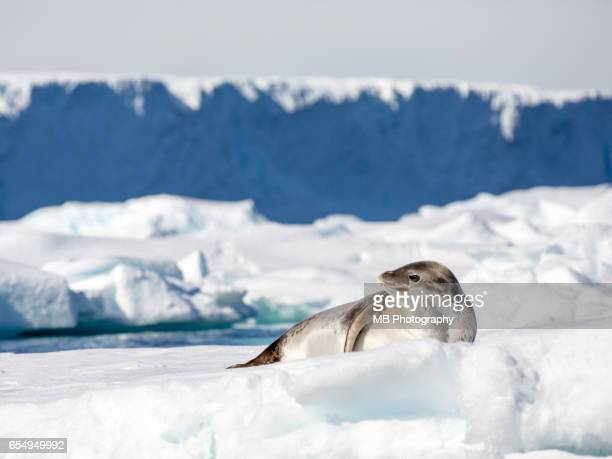 weddell seal - seal animal stock pictures, royalty-free photos & images