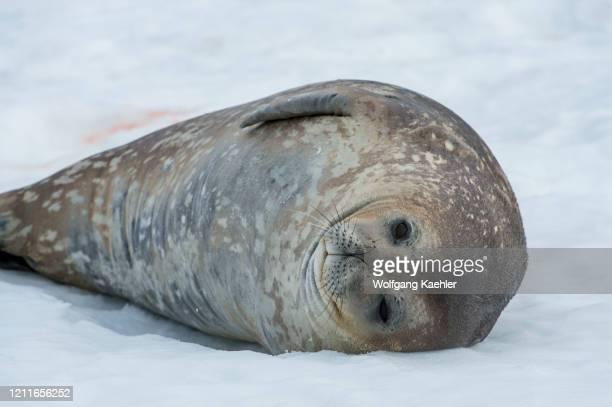 Weddell seal resting on Half Moon near Livingston Island in the South Shetland Islands of the Antarctic Peninsula region.