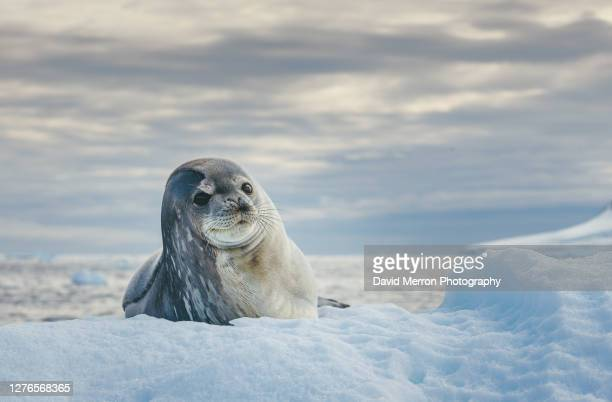 weddell seal resting on ice - antarctica stock pictures, royalty-free photos & images