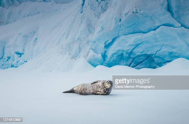weddell seal rests on ice in front of glacier - antarctica stock pictures, royalty-free photos & images