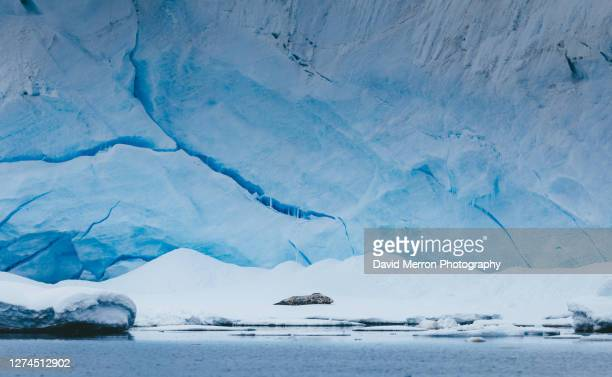 weddell seal rests on ice in front of glacier - 氷河湖 ストックフォトと画像