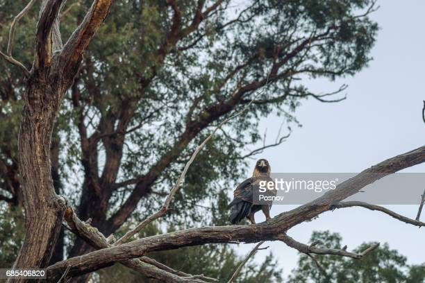 wedge tailed eagle in in australian alps, victoria - eagles london stock pictures, royalty-free photos & images