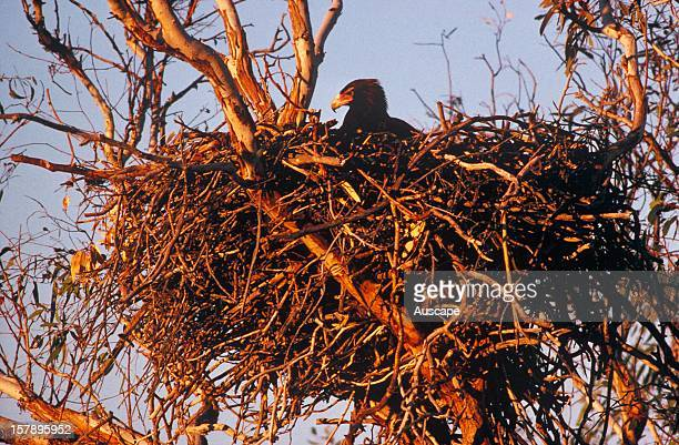 Wedgetailed eagle on nest Coongie Lakes Simpson Desert South Australia
