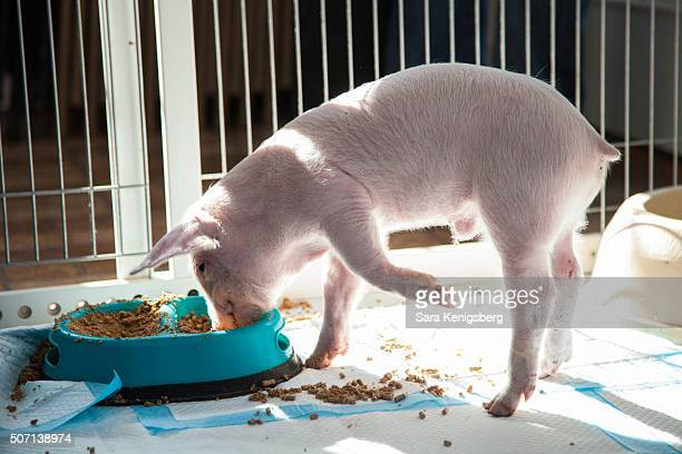 Wee Wee the piglet eats at Poplar Spring Animal Sanctuary January 27 2016 in Poolesville Maryland The Smith family rescued the piglet during winter...