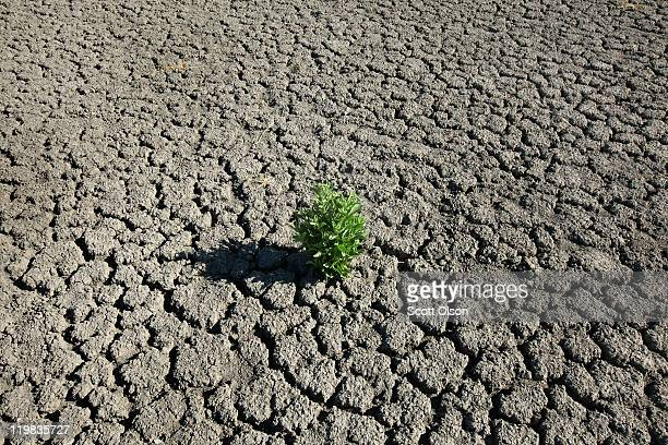 Weed grows out of the dry cracked bed of O.C. Fisher Lake on July 25, 2011 in San Angelo, Texas. The 5,440 acre lake which was established to provide...