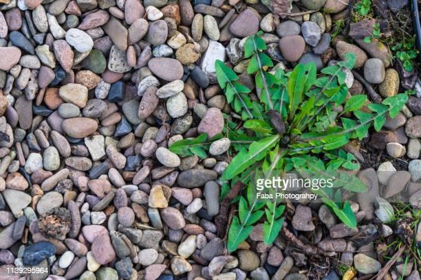 weed is growing between shingle - pianta selvatica foto e immagini stock