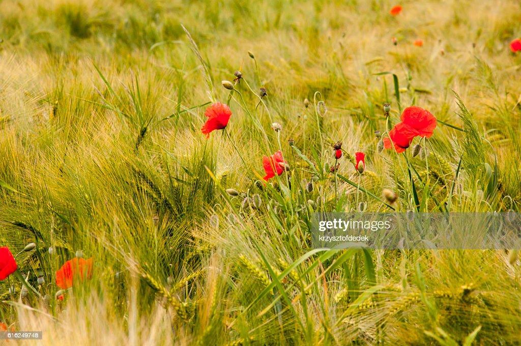 weed on a field : Foto de stock