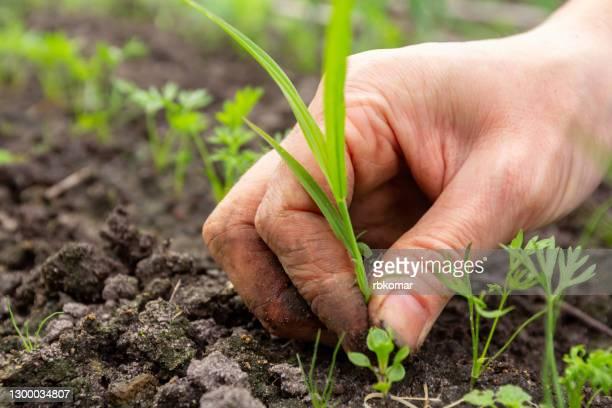 weeding garden beds with growing green parsley and removing weeds - niet gecultiveerd stockfoto's en -beelden