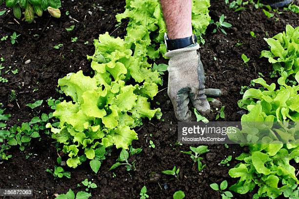 Weeding the lettuce patch