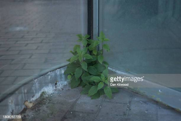 Weeds grow in the revolving door to the Barbican Conservatory, which will remain closed until mid-May under current guidelines, on March 19, 2021 in...