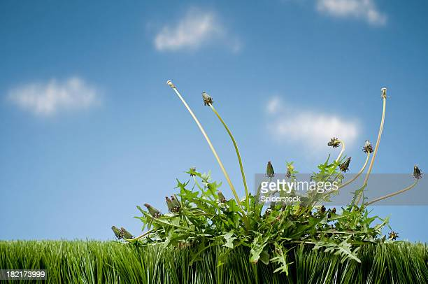 weeds growing in grass - weed stock photos and pictures