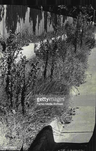 Weeds up to four feet high make an eyesore along Alison Road outside Randwick racecourse March 5 1970