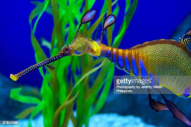 weedy sea dragon - sea horse stock photos and pictures