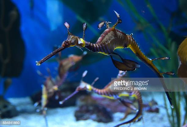 A weedy seadragon is seen at the Aquarium of the Pacific in Long Beach California on May 26 during a press preview of the 'Horses and Dragons' and...