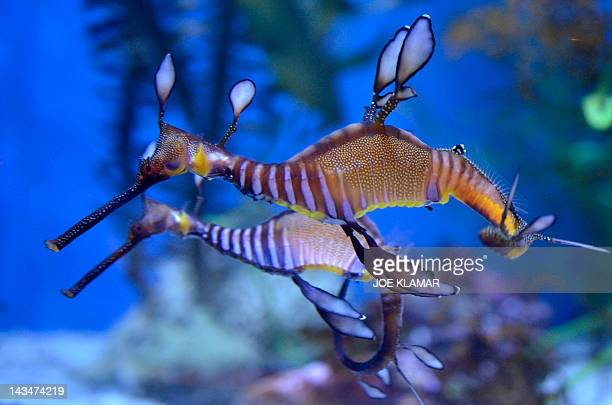 A Weedy seadragons float at the Aquarium of the Pacific in Long Beach California on April 26 2012The Aquarium features a collection of over 11000...