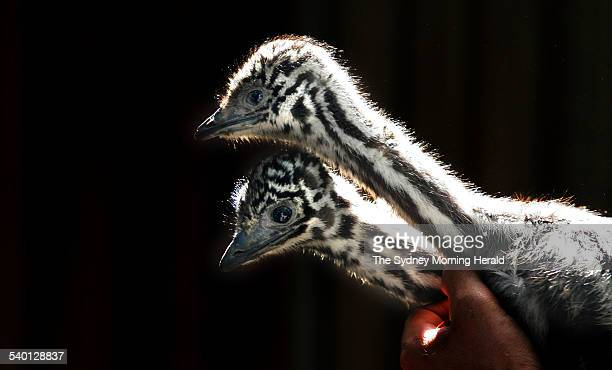 3 week old baby Emus pictured at The Australian Reptile park at Somersby on the Central Coast of NSW near Gosford 5 September 2006 SMH Picture by...