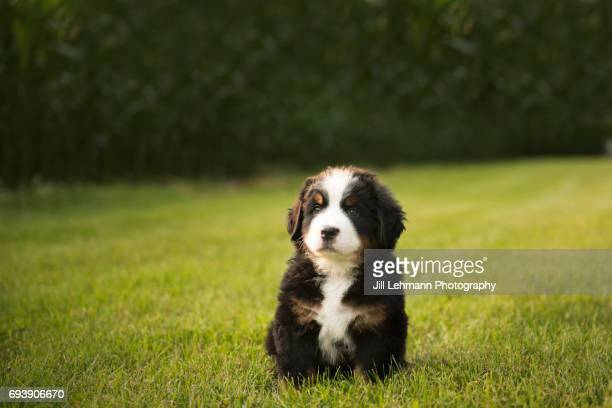 7 Week Old Bernese Mountain Dogs Puppy Pose next to Corn Field