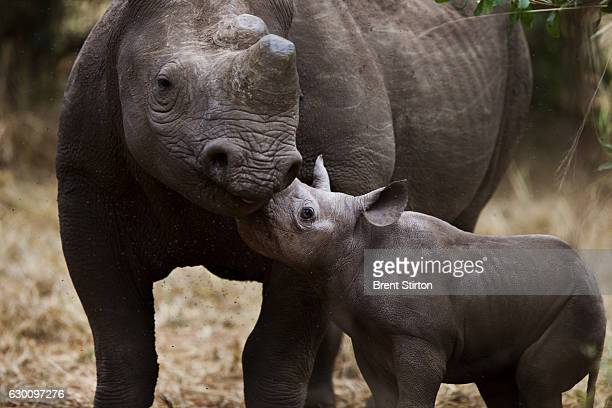 A 3 week old Black Rhino Calf born at the Victoria Falls Private Game Reserve Zimbabwe on April 25 2011