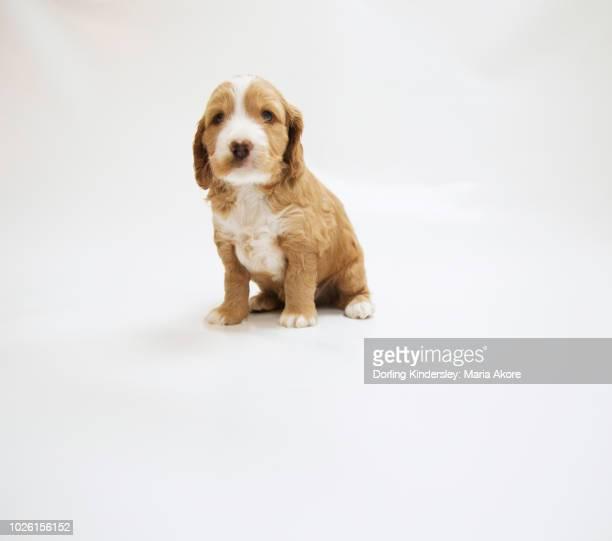 5 Week Old Cockapoo Dog