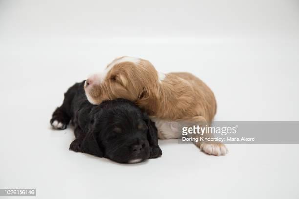 3 Week old Cockapoo Puppies