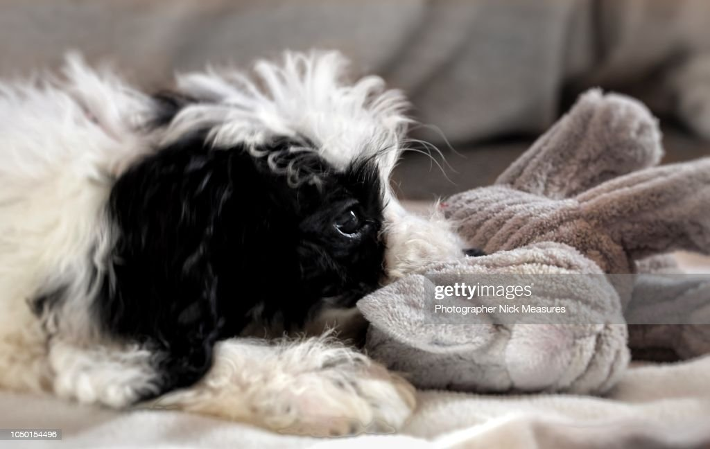 9 Week Old Cockapoo Puppy Playing With Her Toy High Res Stock Photo Getty Images
