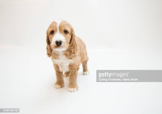 7 Week Old Puppy (Cockapoo/Spaniel)