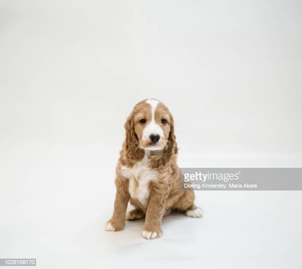 8 Week Old Puppy (Cockapoo/Spaniel)