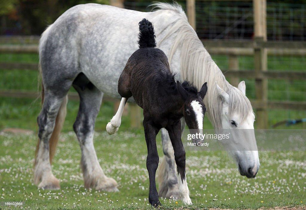 Rare Shire Horse Foal Makes A Public Appearance : News Photo