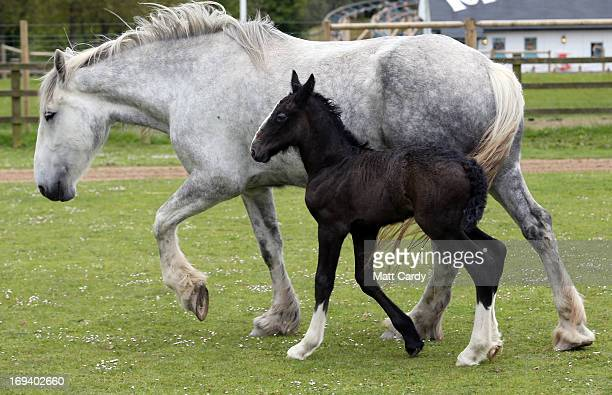 A week old shire horse foal walks with her mother Orla at Cornwall's Crealy Adventure Park on May 24 2013 near Wadebridge England Once a common sight...
