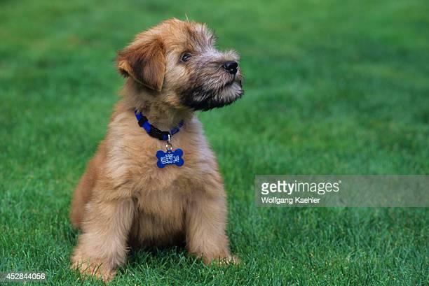 soft coated wheaten terrier haircut photos diesel soft 60 top soft coated wheaten terrier pictures photos