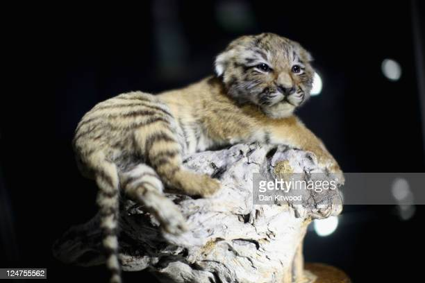 A 10 week old stuffed Tiger cub is displayed at an 'Endangered Species' exhibition at London Zoo on September 12 2011 in London England The...