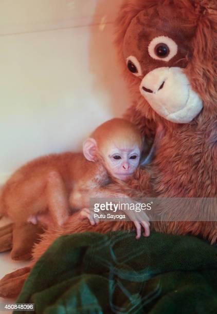 A weekold newborn baby Langur hugs a surrogate monkey doll inside the incubator at Bali Zoo on June 19 2014 in Gianyar Bali Indonesia Javan Langurs...