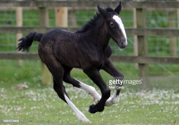 A weekold shire horse foal runs in a field at Cornwall's Crealy Adventure Park on May 24 2013 near Wadebridge England Once a common sight in the UK...