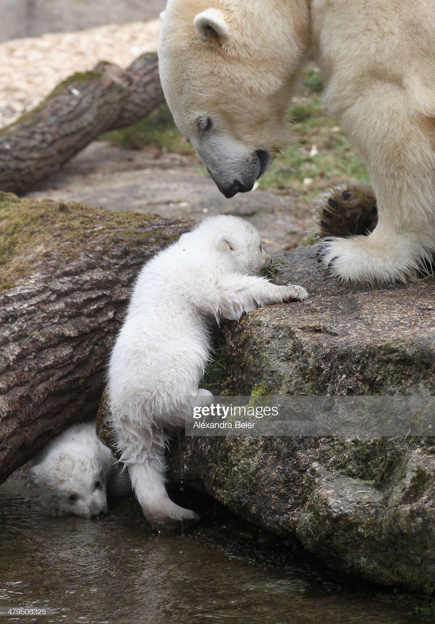 Munich Zoo Presents Twin Polar Bear Cubs : Foto di attualità